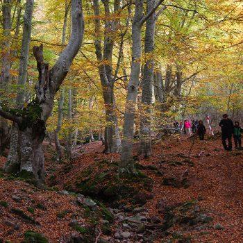 Las viejas hayas retorcidas aportan carácter al bosque.
