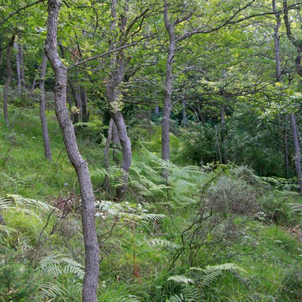 La GR nos lleva por el robledal desde los Corrales de Ocijo hasta la Dehesa.